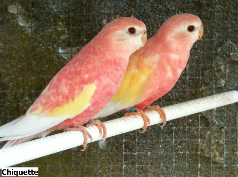 oiseaux a vendre quebec oiseaux a vendre quebec perruche de bourke. Black Bedroom Furniture Sets. Home Design Ideas