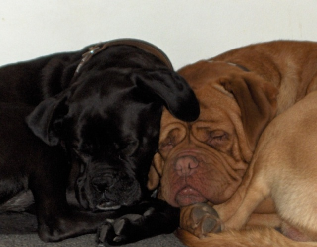 adopter dogue de bordeaux et boxer noir 5 ans 07 adopt s. Black Bedroom Furniture Sets. Home Design Ideas