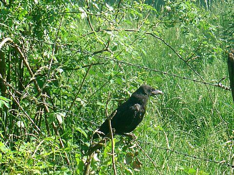 La nouvelle génération ! dans Les Oiseaux Noirs 82547610