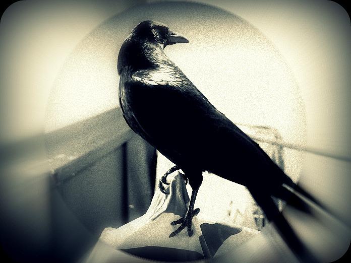 Beau... simplement ! dans Les Oiseaux Noirs dsc_0013