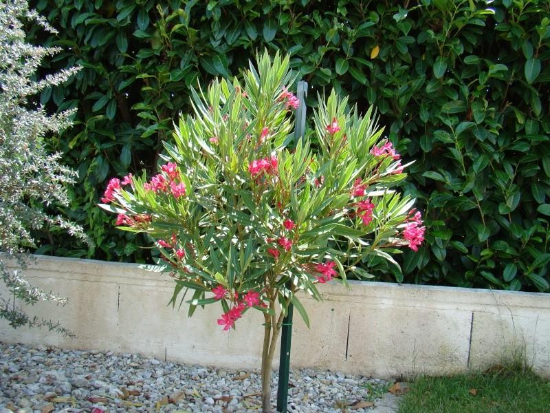 Forum jardinature forum jardin jardinage nature environnement voir le sujet le jardin - Bouture de laurier rose ...