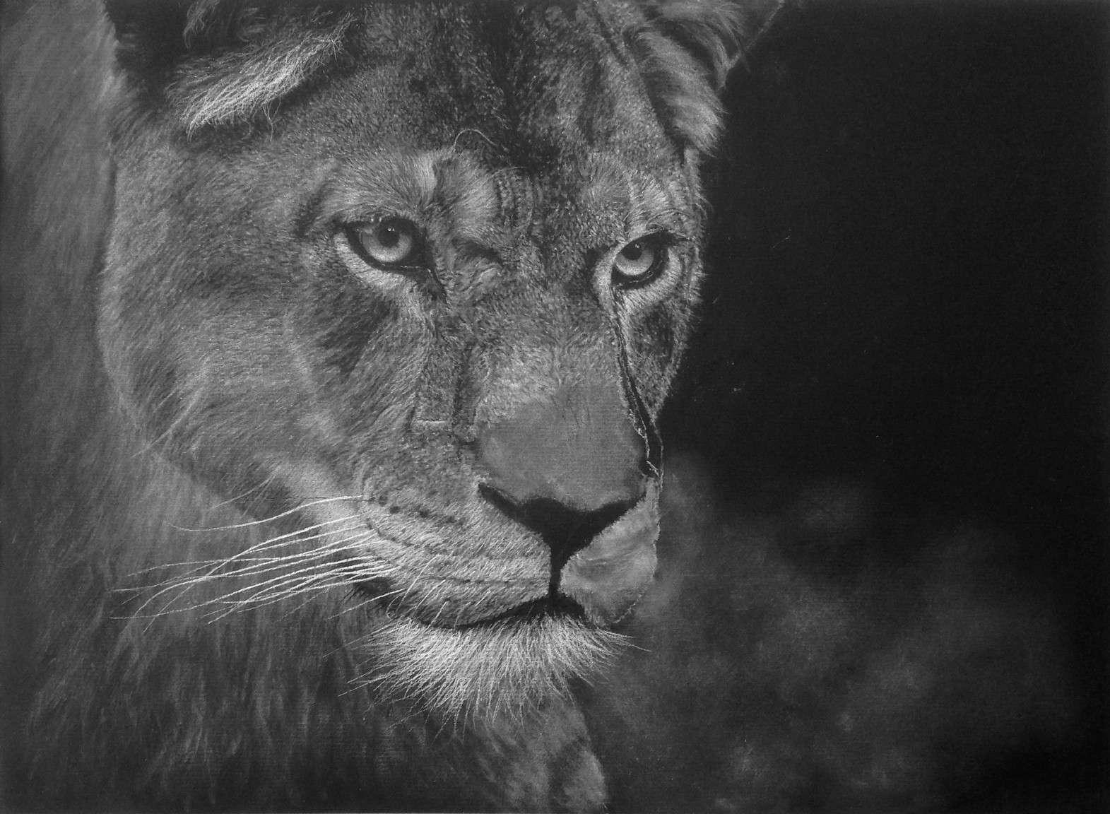 Blanc sur noir dessin d 39 une lionne par tapes - Lionne dessin ...