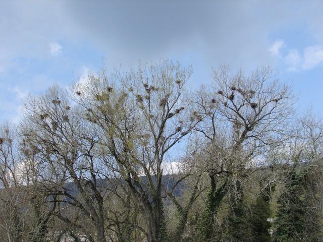 Nids de corbeaux dans Coups de coeur corbea10