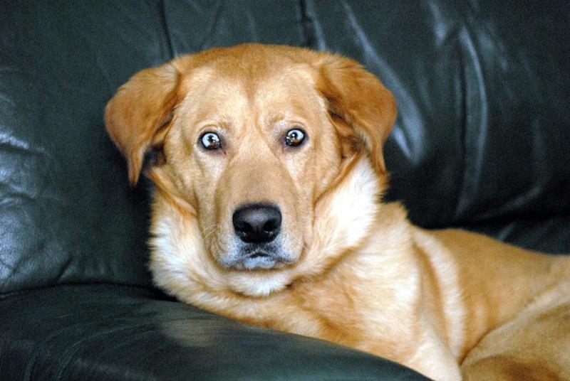Chien croise labrador et husky – Dogs our friends photo blog