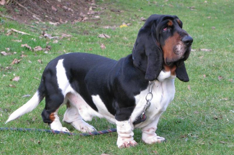 Alfred,basset hound,pe...
