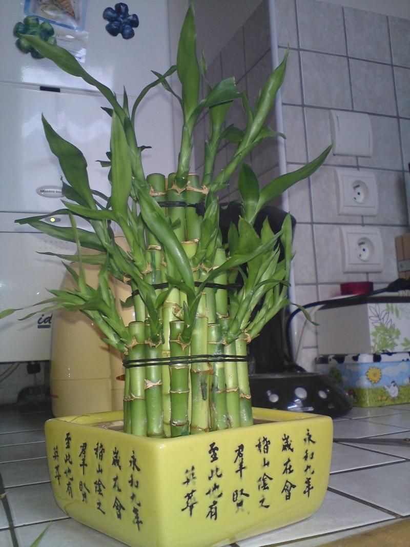 Bambou lucky - Lucky bambou acheter ...