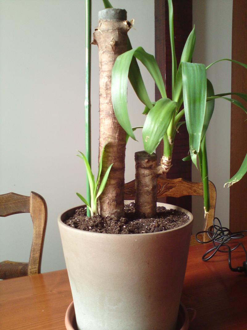 comment savoir si mon yucca est mort. Black Bedroom Furniture Sets. Home Design Ideas