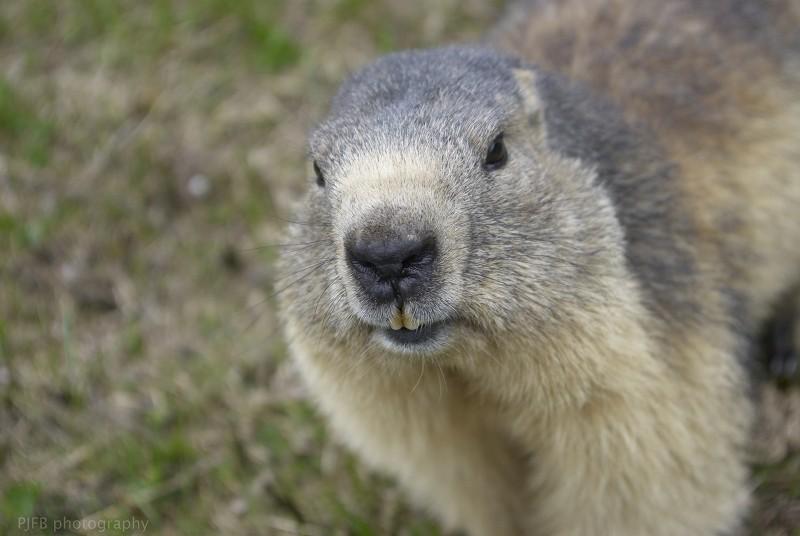 http://i69.servimg.com/u/f69/15/19/12/62/marmot10.jpg