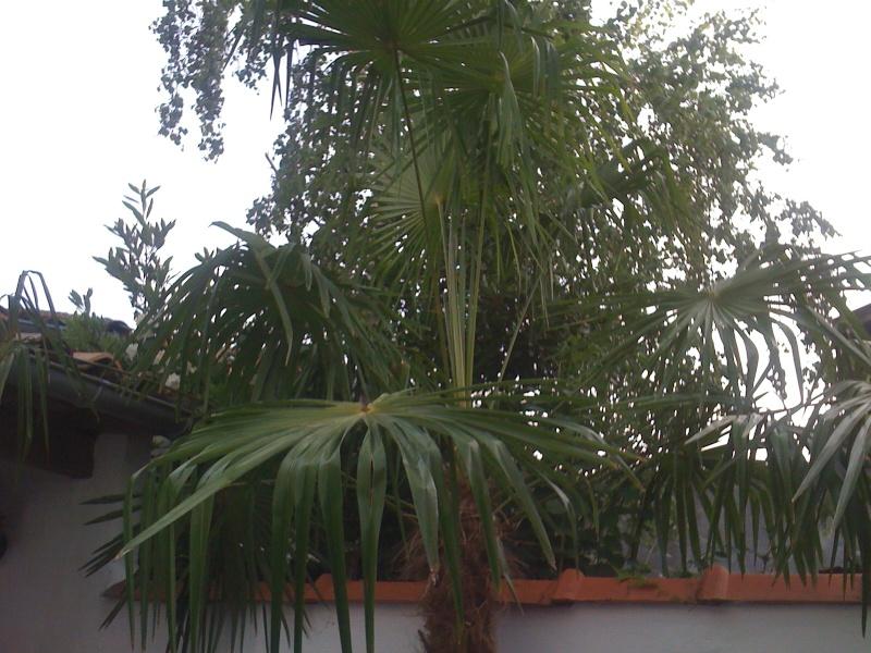 trachycarpus fortunei feuilles pli es sos. Black Bedroom Furniture Sets. Home Design Ideas