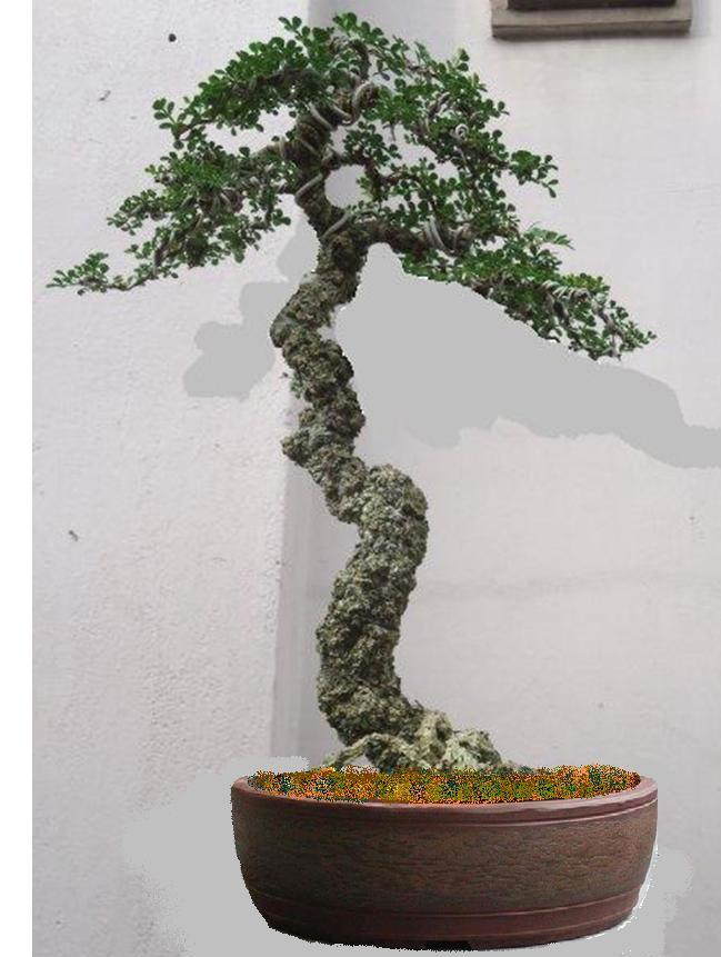 Pine tree for Literati bonsai gallery