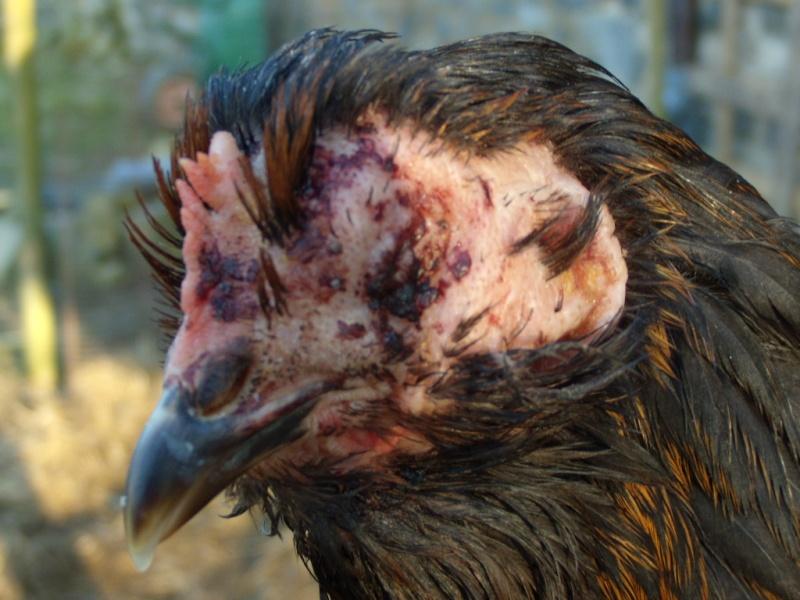 Poule malade je ne sais plus quoi faire o for Les maladies des poules