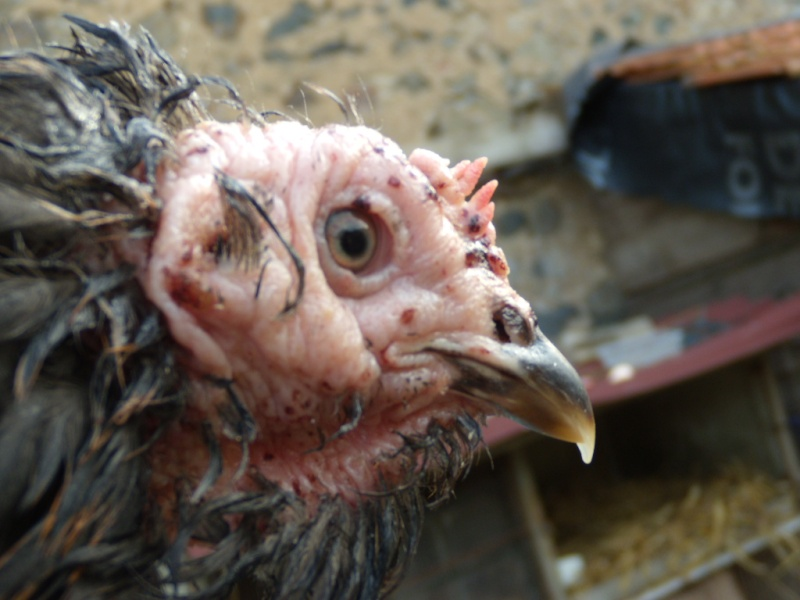 Poule malade je ne sais plus quoi faire o page 2 for Les maladies des poules