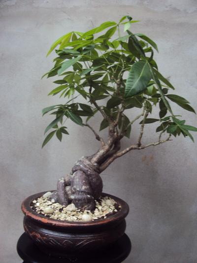 I keep my Pachira in same pot  Pachira Aquatica Bonsai