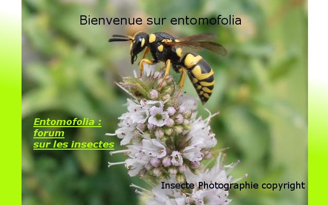 entomofolia