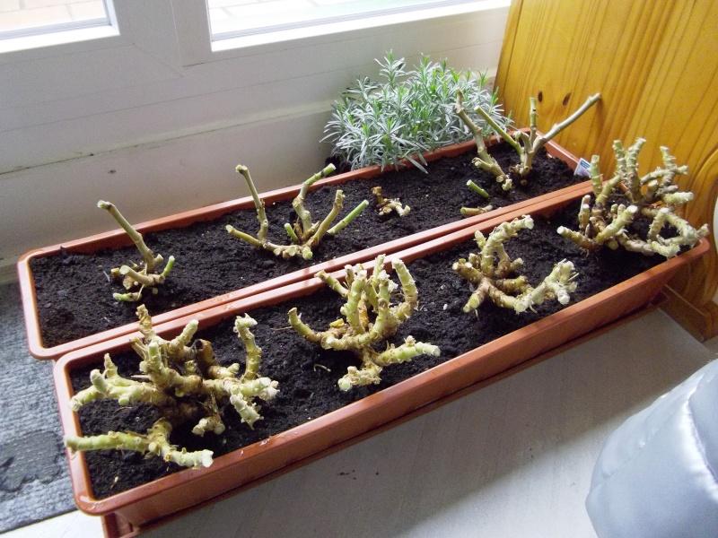 pelargonium pelargonien alle nichtsukkulenten arten und sorten aussaat stecklinge seite 2. Black Bedroom Furniture Sets. Home Design Ideas